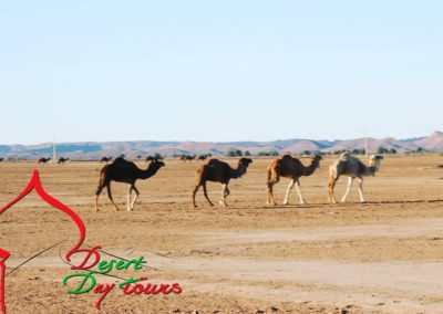 Cameltrekking in the way to across the biggest Sahara desert dunes of Africa.
